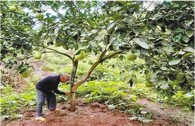 柚子树 修剪方法