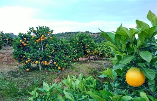 脐橙 种植环境