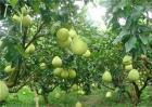 柚子树的施肥技巧