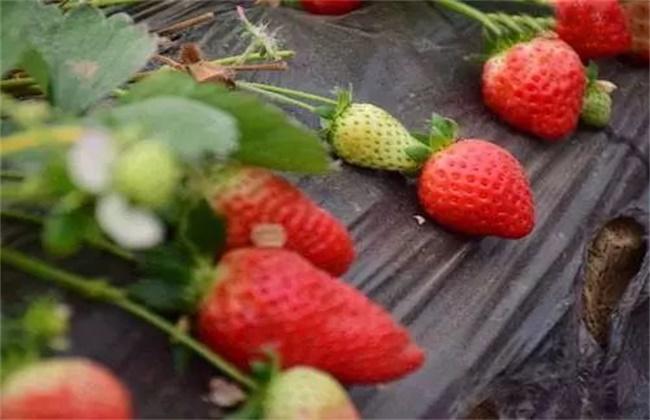 草莓膨果期 用什么肥