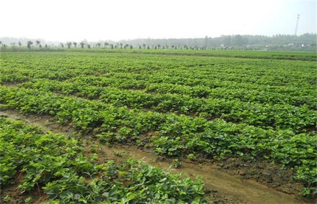 草莓苗期 管理技术