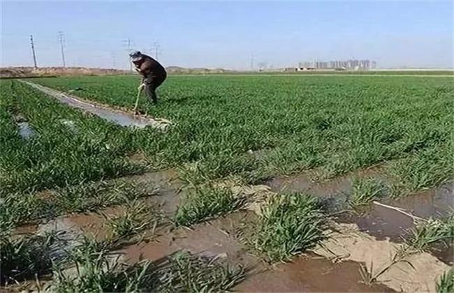 小麦浇冻水 好处