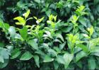 柑橘春季抹芽时间和注意事项