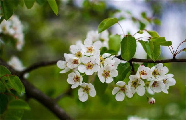 梨树反季节开花怎么回事