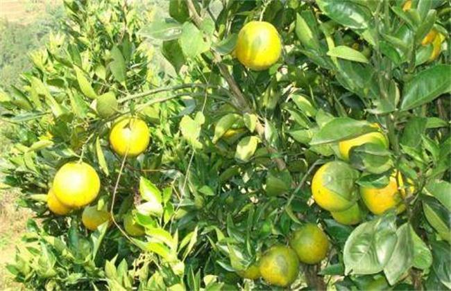 柑橘褐腐病的防治方法