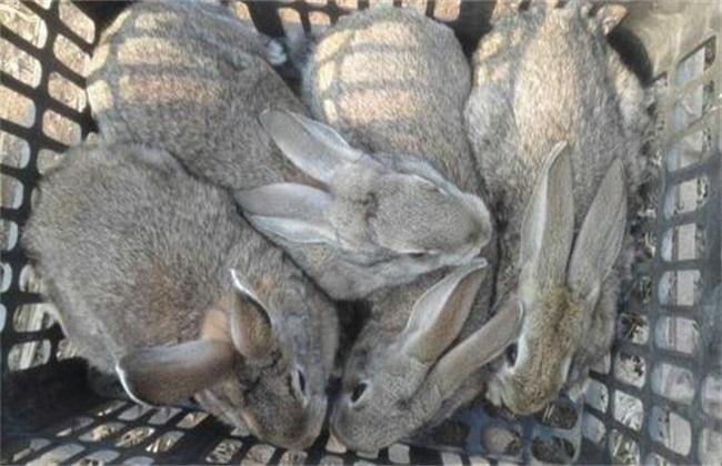 肉兔养殖 什么品种好