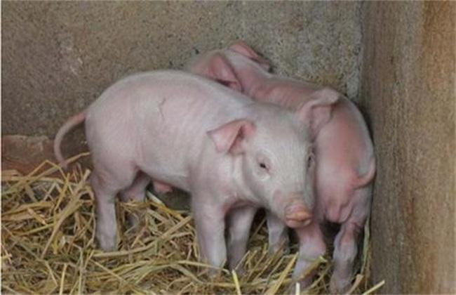 冷应激对猪的影响
