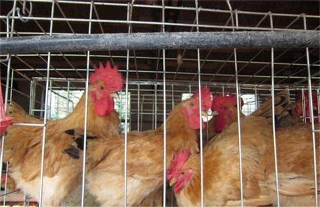 如何防止 鸡冷应激