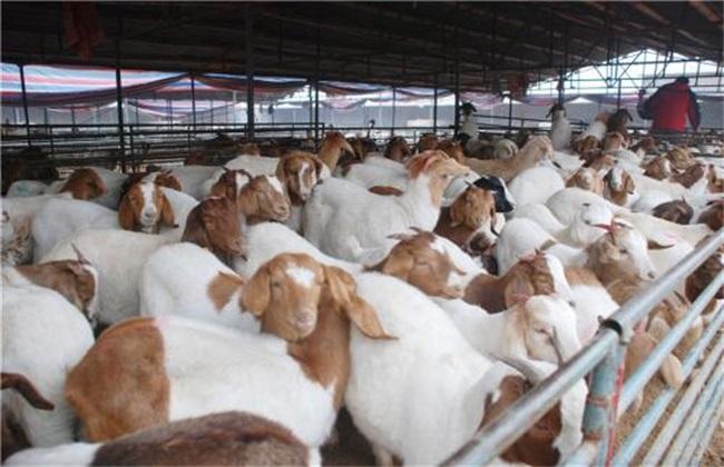 如何提高肉羊的繁殖力