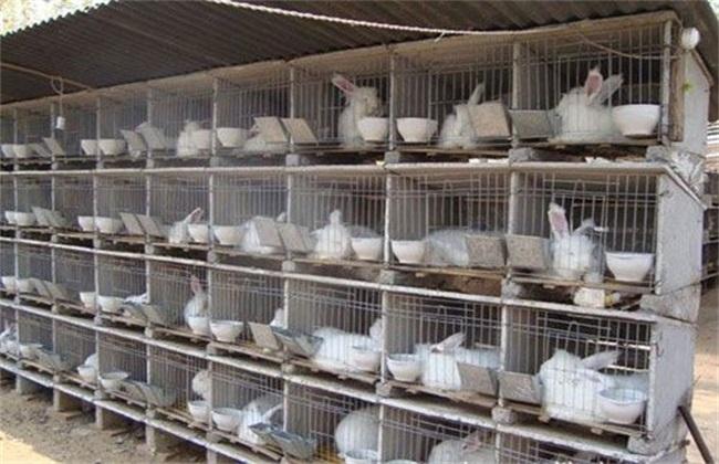 如何提高肉兔产肉率