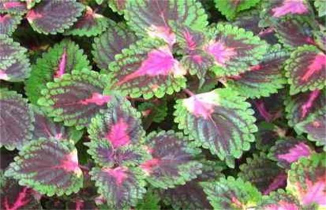彩叶草施肥方法和注意事项