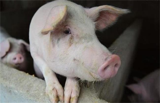猪冷应激怎么办