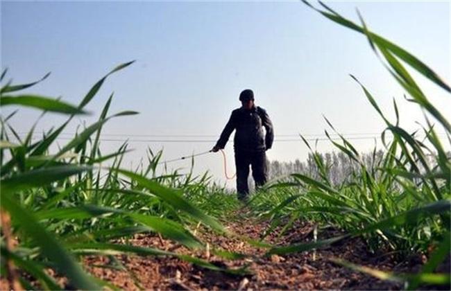 小麦越冬水 注意事项