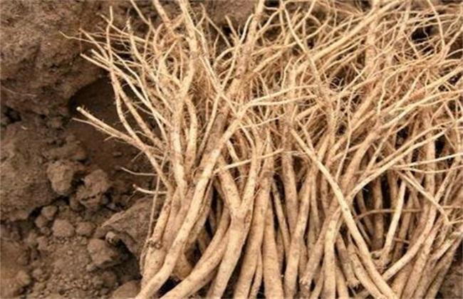黄芪种植中常见的问题