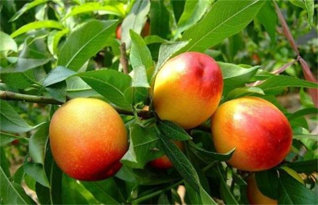 桃树成果率低是什么问题