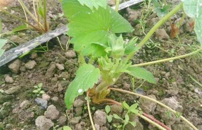 如何促进草莓花芽分化