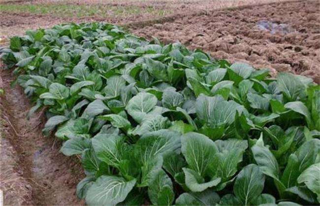 春季如何种植大白菜