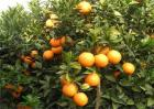 柑橘除酸增甜措施