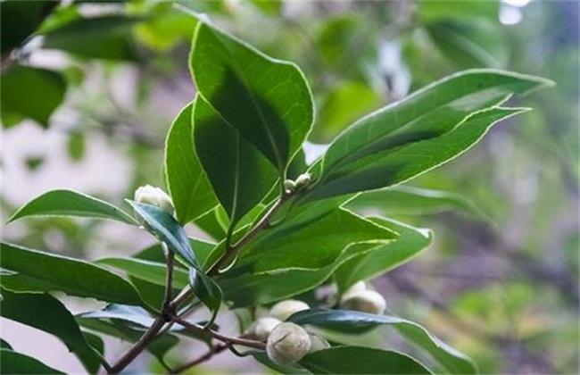茶花不长叶子图片