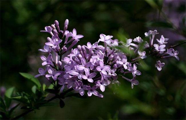 丁香花栽种第二年不开花吗图片