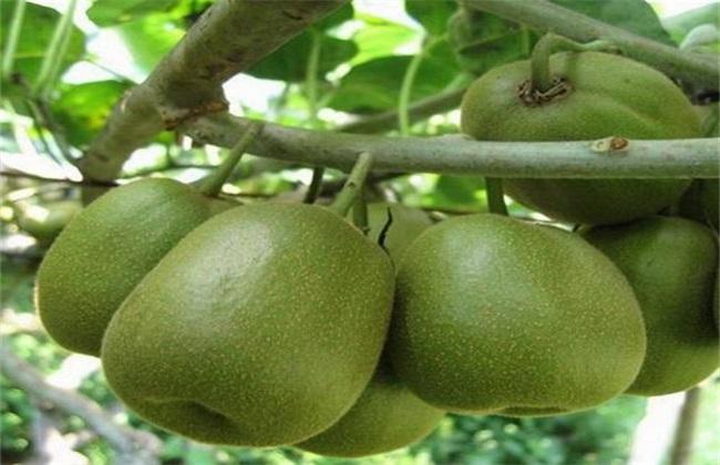 夏季猕猴桃管理技术