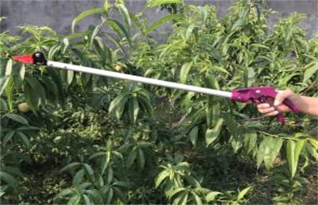 荔枝采果后怎样施肥