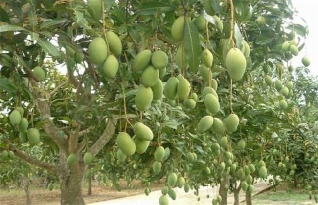 芒果结果树的施肥管理