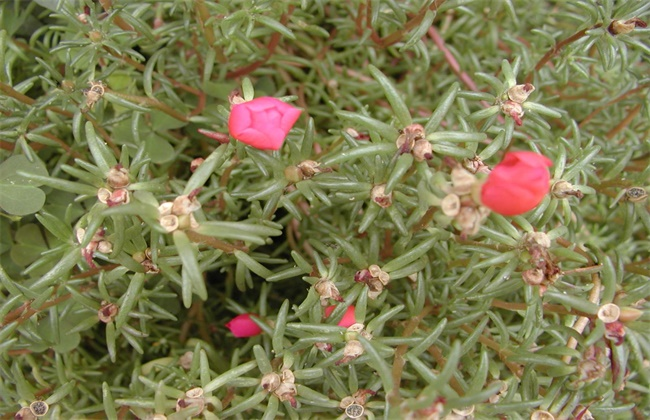 半枝莲的养殖方法和注意事项