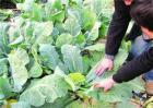 哪些化肥蔬菜不宜施用