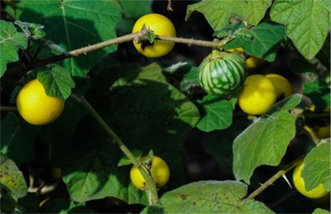 茄子嫁接 砧木品种