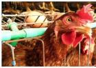 蛋鸡人工强制换羽方法