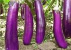 茄子嫁接砧木品种