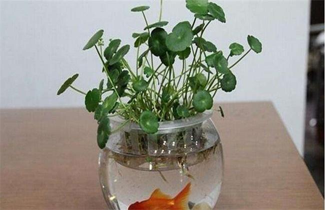 金钱草水培养殖方法和注意事项