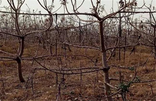 如何防止 果树移植后 假死