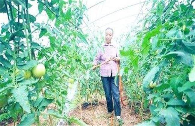 大棚番茄春季浇水方法