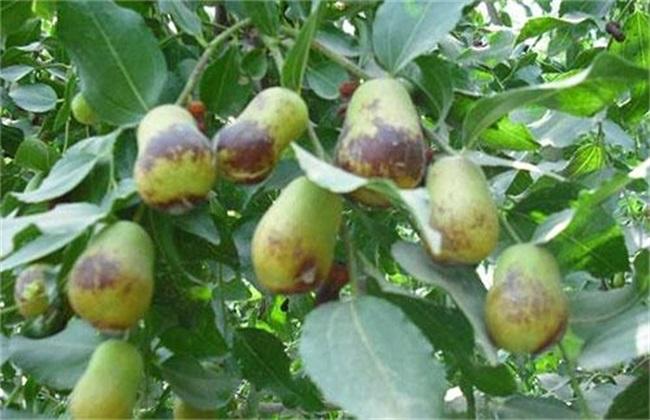 如何防止 果树 发生药害