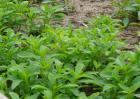 甜叶菊的育苗技术