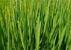 冬小麦早春管理要点