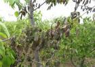 如何防止果树发生药害