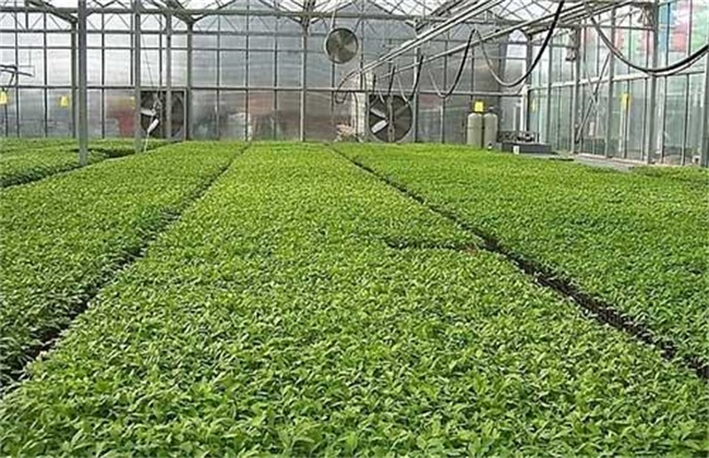 早春番茄育苗要注意些什么