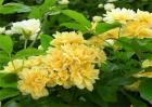 黄木香的养殖方法和注意事项