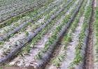 蔬菜大棚地膜覆盖注意事项