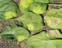 菠菜枯萎病的防治措施