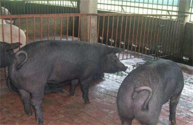 新淮猪的养殖技术