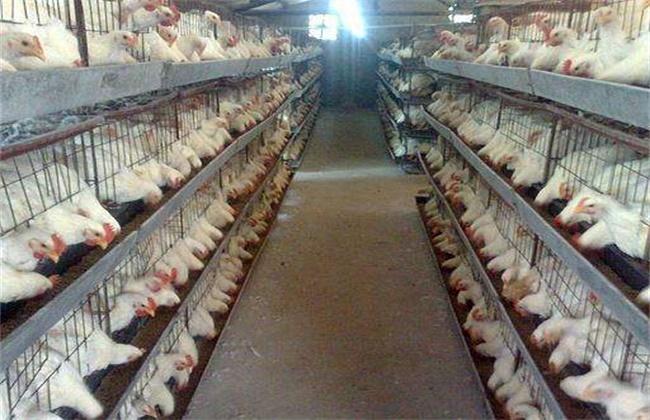 肉鸡热应激的缓解措施