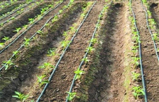 番茄滴灌施肥技术