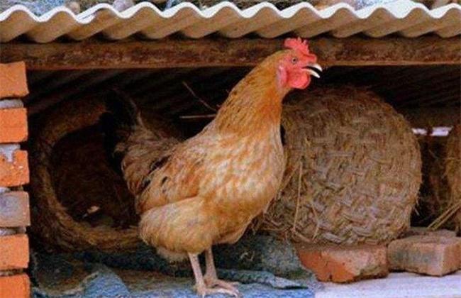 母鸡不产蛋原因及解决方法
