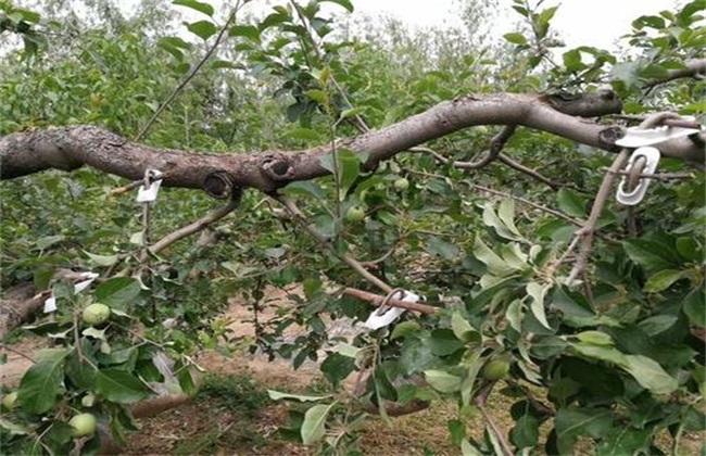 果树背上枝 怎样修剪