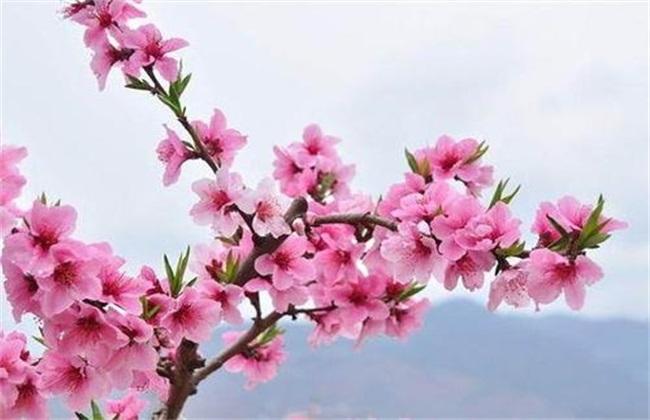 桃树花期的管理技术