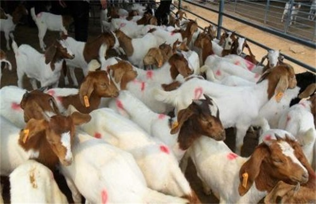 新手买羊的几条建议